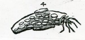 4aldrovandi-1638-w
